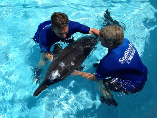 Rescued_Dolphin_at_SeaWorld_Orlando